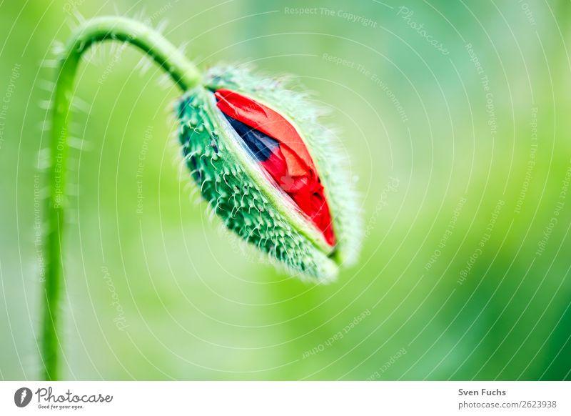Mohnblüte beim Öffnen Sommer Garten Natur Pflanze Frühling Blume Gras Blatt Blüte Wiese Liebe groß hell klein grün rot Knospe platzen blühen jung entfalten