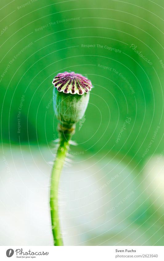 Mohnkapsel vor grünem Hintergrund Natur Sommer Pflanze rot Blume Blatt Hintergrundbild Liebe Blüte Frühling Wiese Gras klein Garten hell