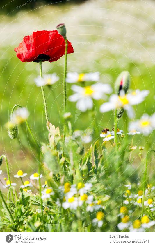Mohnblume und Mohnblüten zwischen Blumen Sommer Garten Natur Pflanze Frühling Gras Blatt Blüte Wiese Liebe groß hell klein grün rot Knospe platzen blühen jung