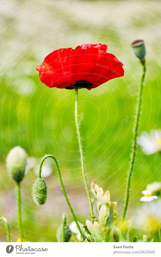 Mohnblume und Mohnblüten zwischen Blumen Natur Sommer Pflanze grün rot Blatt Hintergrundbild Liebe Blüte Frühling Wiese Gras klein Garten hell