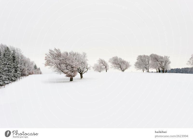 Verschneite Windbuchen auf dem Schauinsland Ferien & Urlaub & Reisen Tourismus Ausflug Abenteuer Ferne Freiheit Winter Schnee Winterurlaub Berge u. Gebirge