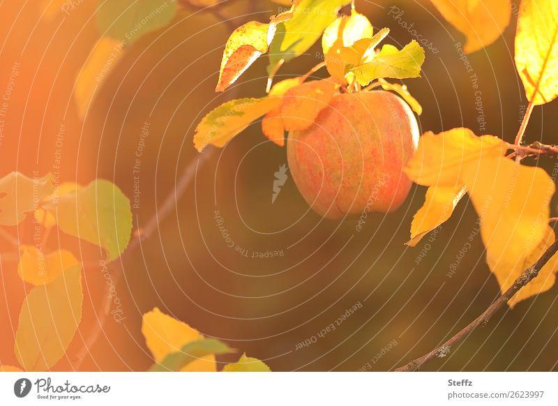 sonnengereift Apfel Äpfel Bio Warme Farbe Lichtstimmung Warmes Licht Apfelernte Herbststimmung Tageslicht Herbstlicht Gartenobst Gesunde Ernährung Natur
