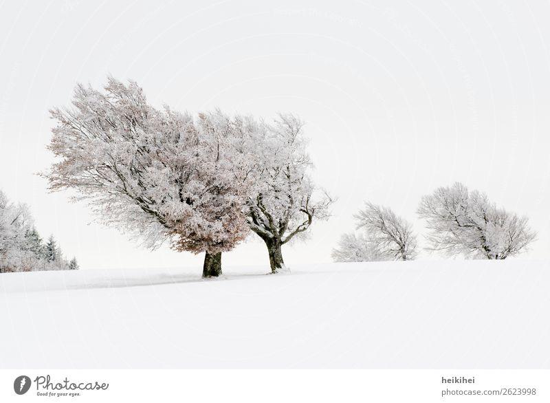 Verschneite Windbuchen / Schauinsland Freiburg Ferien & Urlaub & Reisen Tourismus Ausflug Abenteuer Ferne Freiheit Winter Schnee Winterurlaub Berge u. Gebirge