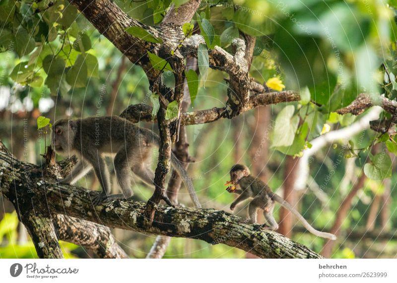 achtsamkeit Ferien & Urlaub & Reisen Tourismus Ausflug Abenteuer Ferne Freiheit Baum Blatt Urwald Wildtier Tiergesicht Fell Affen longtail makaken 2 Tierjunges