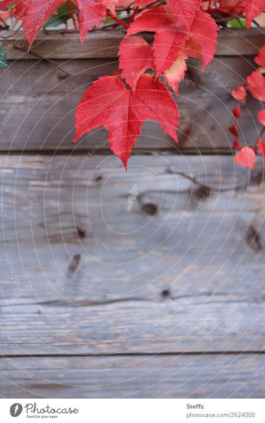 Rote Weinblätter Natur Pflanze Herbst Blatt Weinblatt Herbstlaub Blattadern Garten Holz hängen natürlich schön braun rot Herbstgefühle Novemberstimmung Design