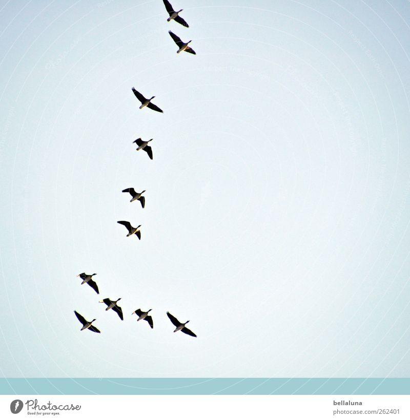 Grau-, Bläss- oder Saatgans? Natur Wasser Himmel Wolkenloser Himmel Winter Wetter Schönes Wetter Tier Wildtier Vogel Tiergruppe Schwarm Tierfamilie fliegen Gans
