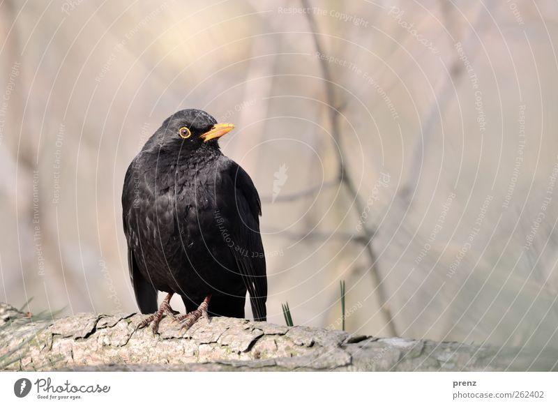 bird Umwelt Natur Tier Wildtier Vogel 1 sitzen grau schwarz Amsel Singvögel Ast Farbfoto Außenaufnahme Textfreiraum oben Tag Schwache Tiefenschärfe Tierporträt