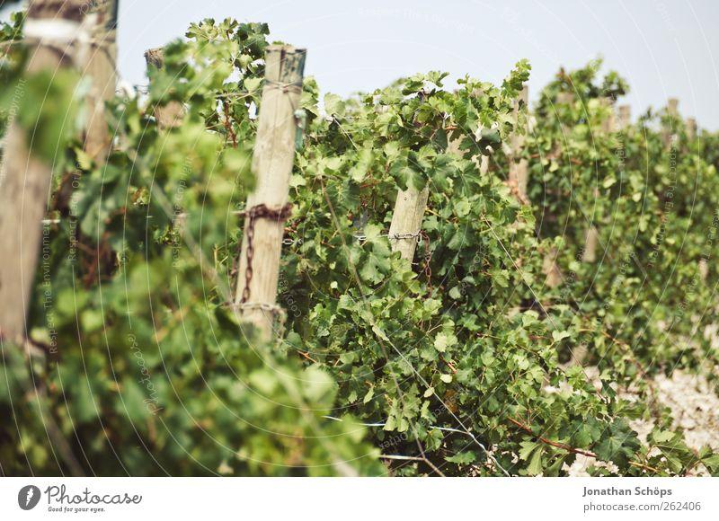 Der Weinberg VII Natur grün Pflanze Sommer Blatt Umwelt natürlich Wachstum Landwirtschaft Frankreich Holzpfahl Weinlese gedeihen Nutzpflanze Weinbau