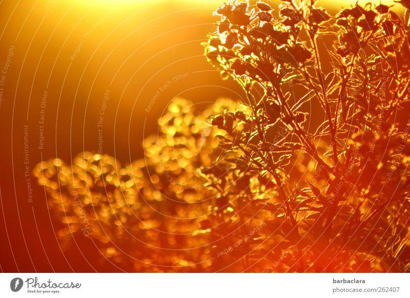 vergoldet Umwelt Natur Pflanze Luft Himmel Herbst Schönes Wetter Sträucher leuchten ästhetisch schön Wärme wild exotisch Farbe Wachstum Farbfoto Außenaufnahme
