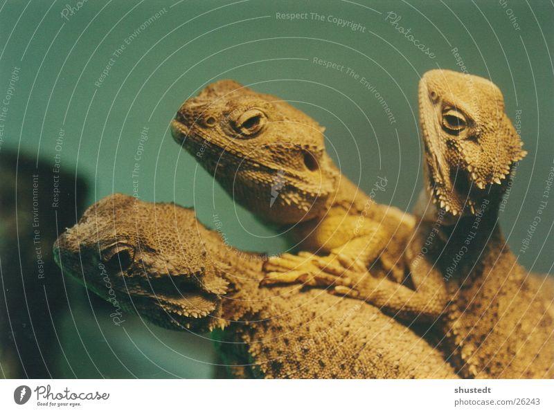 Bartagamen Bart-Agame Echsen Reptil Terrarium mehrere Herpetologie exotisch