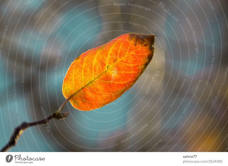nur ein Blatt Umwelt Natur Pflanze Herbst Baum Sträucher Zweige u. Äste Herbstfärbung Park Wald leuchten positiv Wärme Vergänglichkeit Farbfoto Außenaufnahme