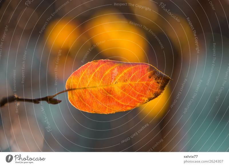 Herbstblatt Umwelt Natur Pflanze Blatt Herbstfärbung Blattadern Oktober Park Wald leuchten Wärme Wandel & Veränderung Jahreszeiten Orange Farbfoto Außenaufnahme