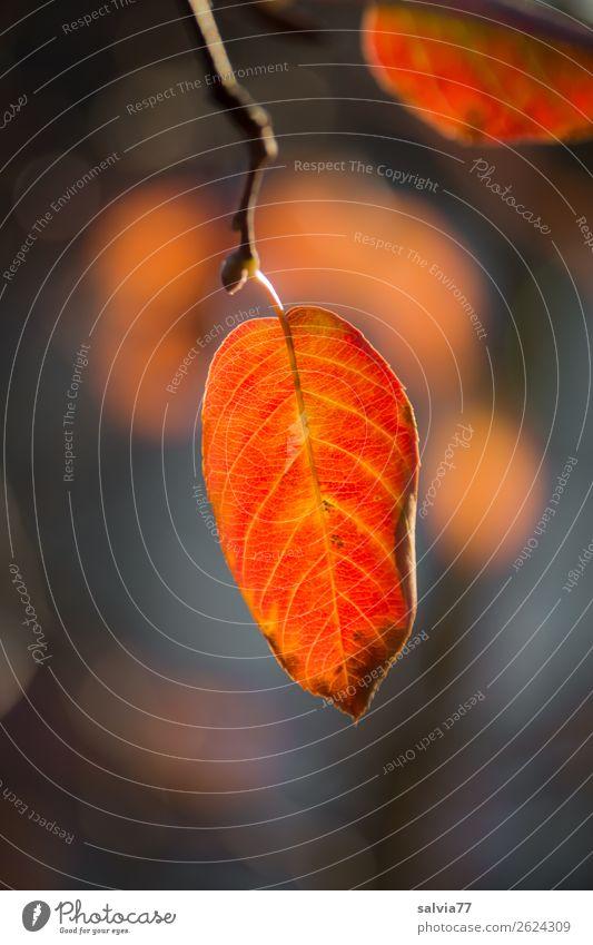 Blattfärbung Umwelt Natur Pflanze Herbst Klima Schönes Wetter Baum Sträucher Herbstfärbung Blattadern Zweig Park Wald leuchten Wärme orange Vergänglichkeit