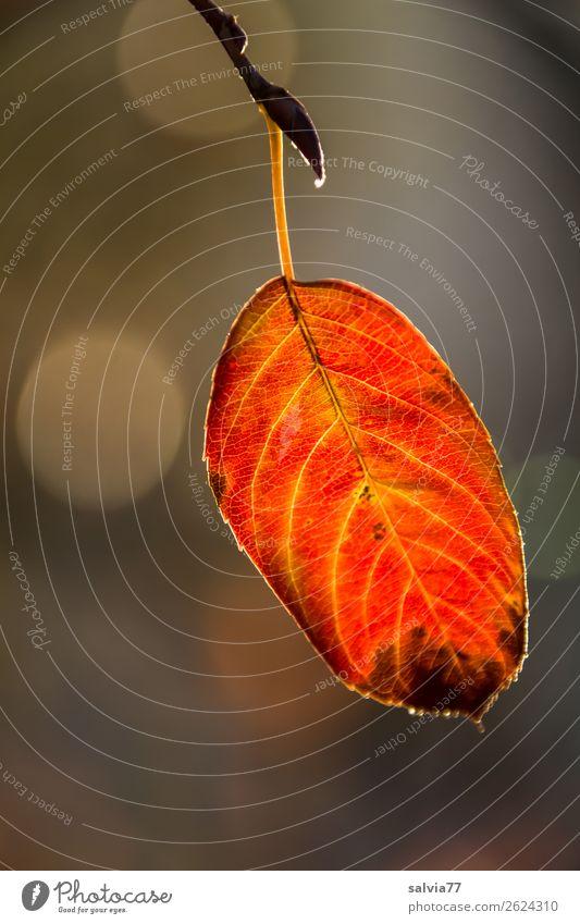 Herbstfärbung Blatt Makroaufnahme Natur Strukturen & Formen Pflanze Blattadern herbstlich Farbfoto Detailaufnahme orange-rot gelb Schwache Tiefenschärfe 1 Blatt