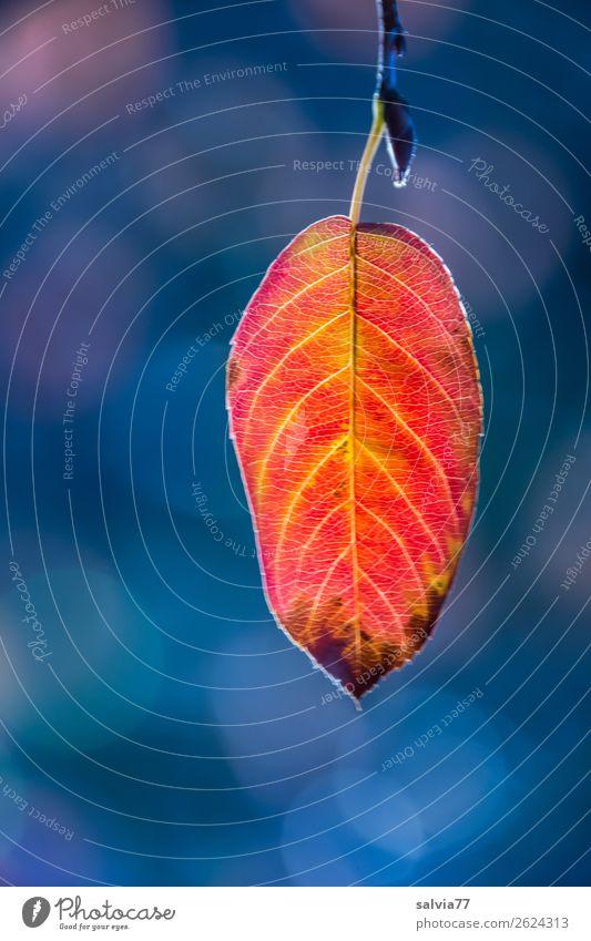 das letzte Blatt Natur Pflanze Herbst Zweig Herbstfärbung Park leuchten dehydrieren blau gelb orange rot ästhetisch Ende ruhig Symmetrie Vergänglichkeit