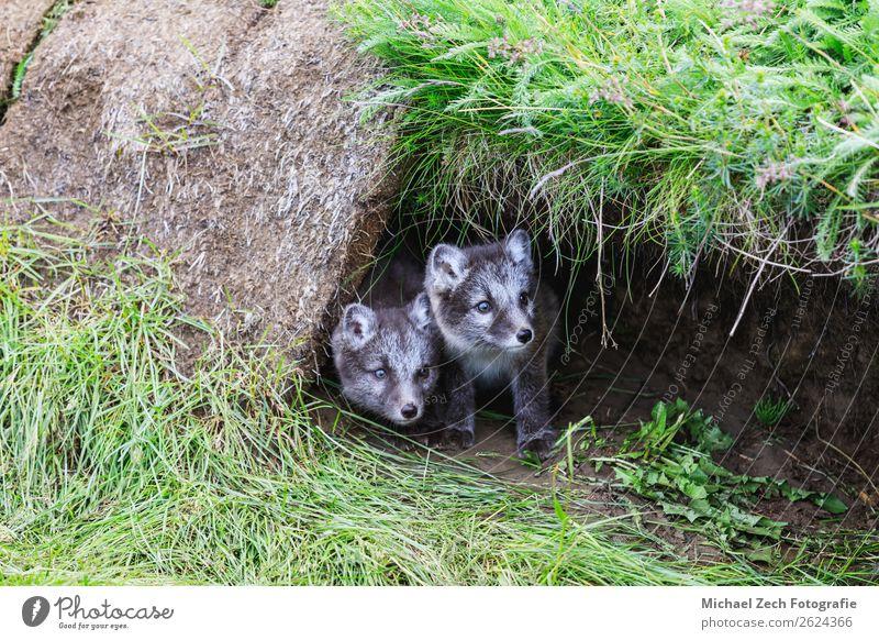 zwei junge, verspielte arktische Fuchswelpen vor ihrem Versteck. Sommer Baby Natur Tier Gras Wiese Pelzmantel Tierjunges klein niedlich wild blau braun grün