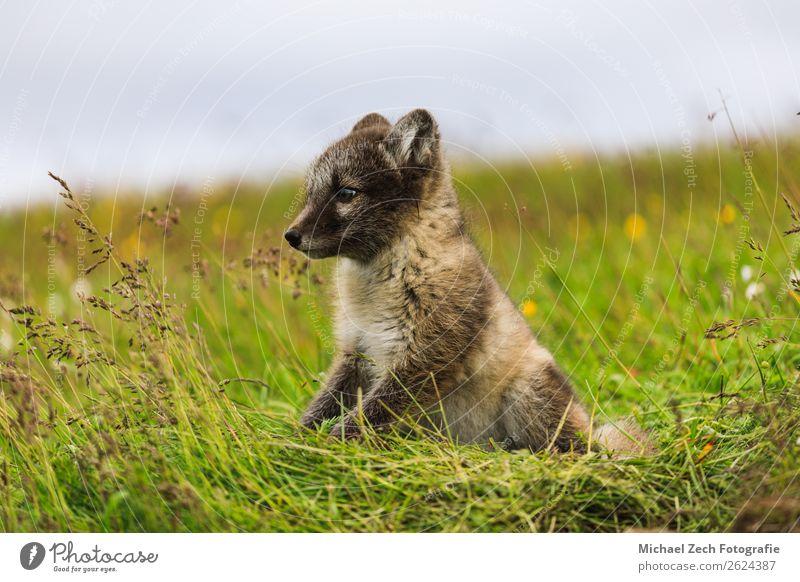 junges verspieltes arktisches Fuchswelpe in Island, Sommer Baby Natur Tier Gras Wiese Pelzmantel Tierjunges klein niedlich wild blau braun grün weiß Arktis