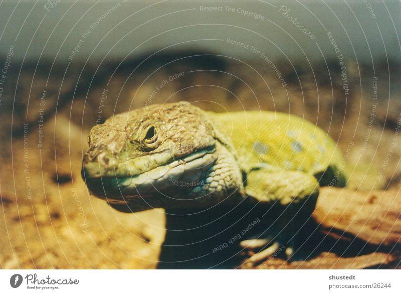 Perleidechse exotisch Reptil Echsen knallig Echte Eidechsen