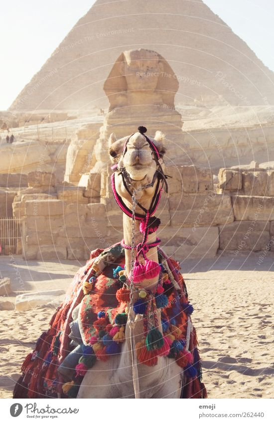Verwandt? Vorbild? Möchtegern? Kunstwerk Skulptur Kultur Sand Sommer Wärme Dürre Wüste Nutztier 1 Tier außergewöhnlich Weltkulturerbe Sphinx Pyramide Gizeh