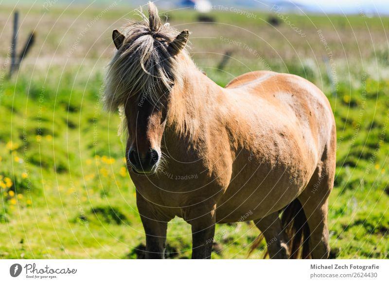 Braunes Islandpferd auf der grünen Wiese im Sommer schön Insel Berge u. Gebirge Menschengruppe Natur Landschaft Tier Gras Hügel Gletscher Pferd Herde natürlich