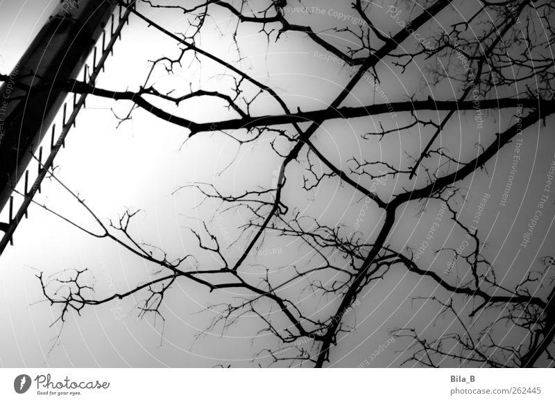 Astwerk Natur weiß Baum Pflanze schwarz dunkel grau Wachstum Metallwaren Leiter Zweige u. Äste Flutlicht