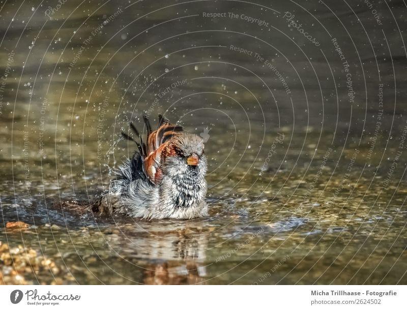 Badender Spatz im Bach Wellness Schwimmen & Baden Natur Tier Wasser Wassertropfen Schönes Wetter Vogel Tiergesicht Flügel Sperlingsvögel Metallfeder Feder