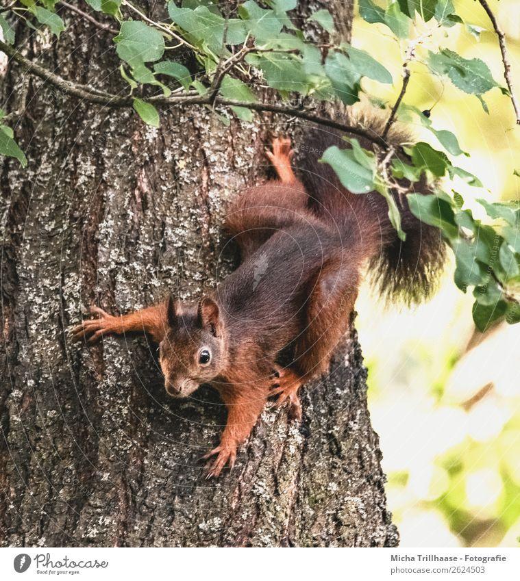 Eichhörnchen hängend am Baumstamm Natur Tier Sonnenlicht Schönes Wetter Blatt Wald Tiergesicht Fell Krallen Pfote Schwanz Ohr Auge 1 beobachten krabbeln Blick