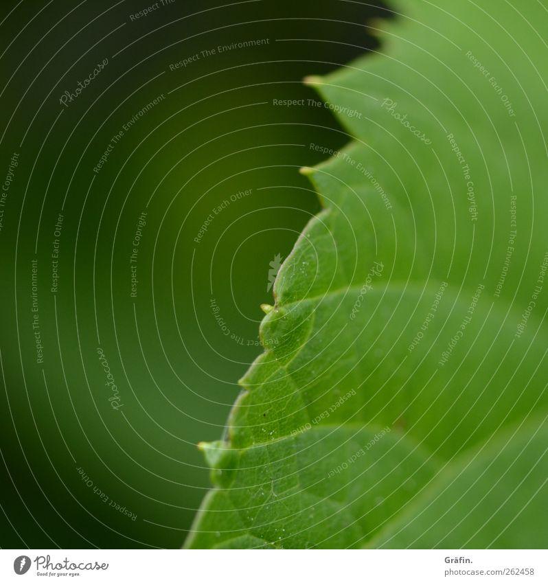 Frühlingsboten grün Pflanze Blatt Umwelt Wachstum Wandel & Veränderung stachelig Frühlingsgefühle Blattgrün