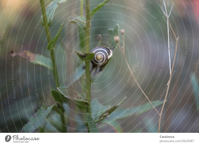 Im Garten Natur Landschaft Pflanze Herbst Blatt Margerite Schnecke Schnirkelschnecke 1 Tier Schneckenhaus schön klein braun grau grün Stimmung geduldig ruhig