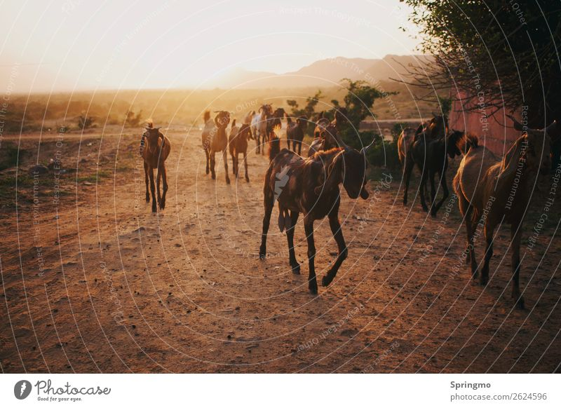 outOFtheLIGHT Erde Sand Sonne Sonnenaufgang Sonnenuntergang Steppe Tier Nutztier Ziegen Tiergruppe Herde glänzend Wärme braun gelb gold Abenteuer Horizont