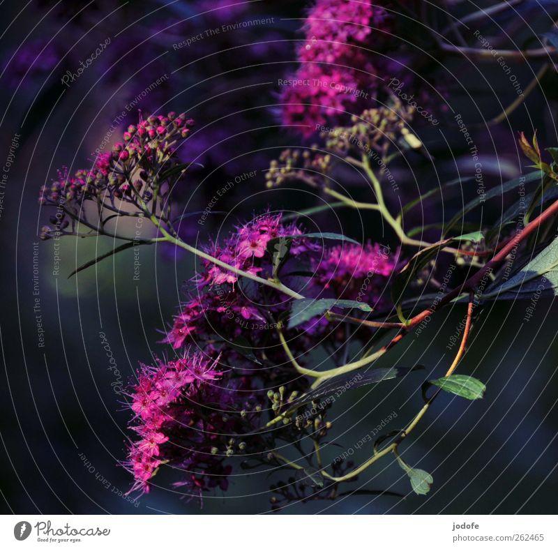 pink flower Natur schön Pflanze Sommer Umwelt Blüte Frühling Sträucher violett Blühend Traubenblüte