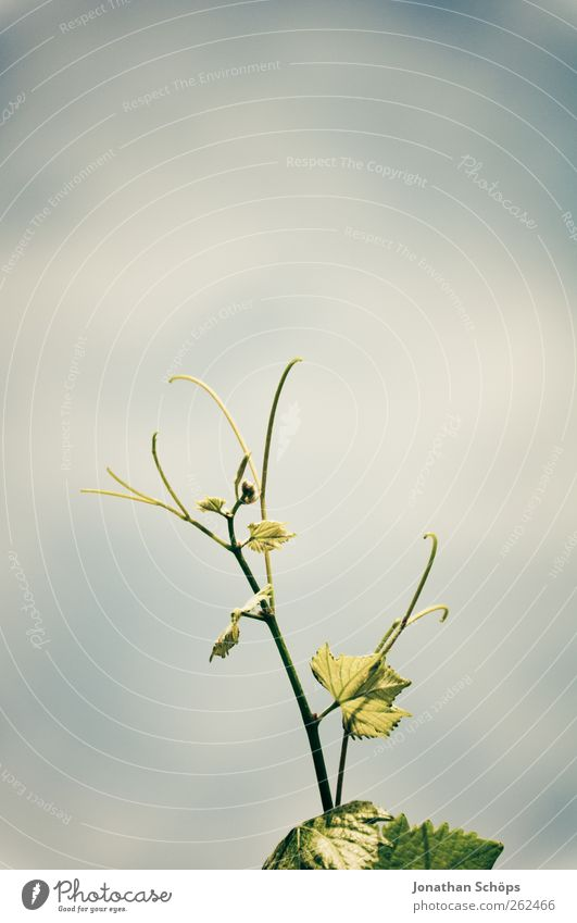 Der Weinberg VIII Himmel Natur grün Pflanze Blatt Umwelt Wachstum Schönes Wetter Stengel aufwärts ökologisch gedeihen sprießen herausragen