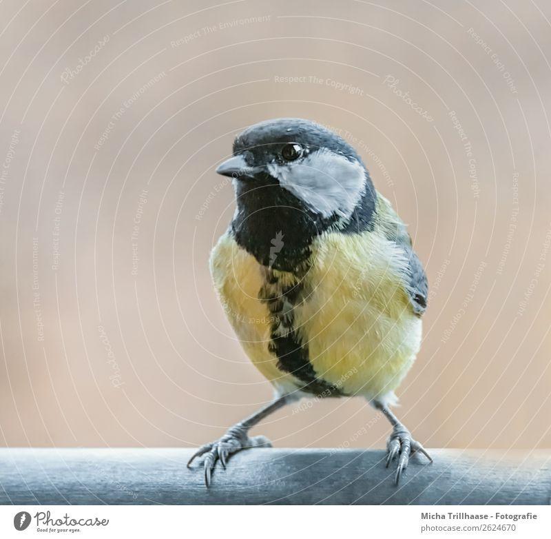Coole Kohlmeise Natur weiß Tier schwarz gelb Auge orange Vogel leuchten Wildtier stehen Feder Schönes Wetter Flügel niedlich beobachten