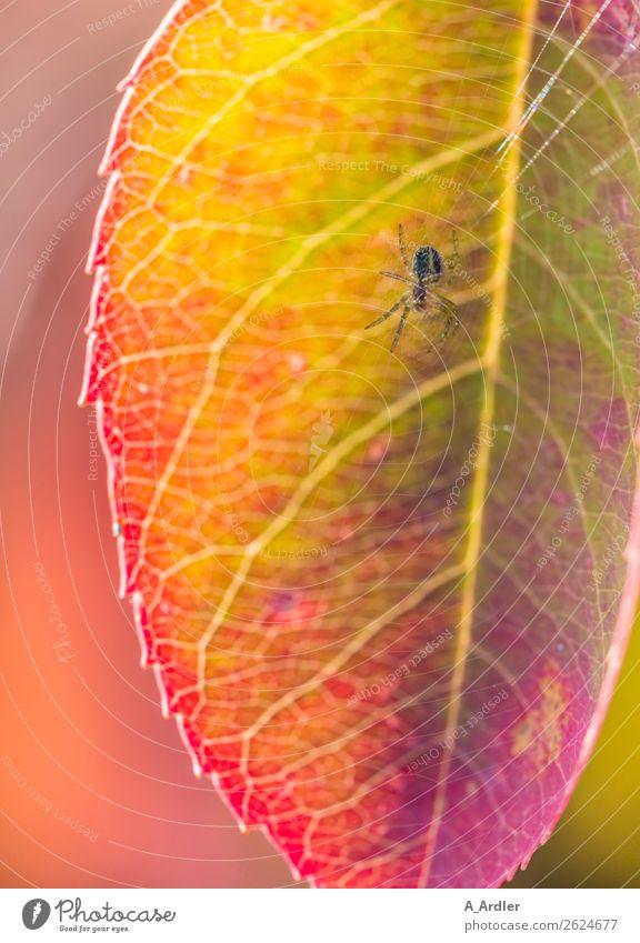 Spinne im Netz Natur Pflanze Sonnenlicht Blatt Garten 1 Tier schön mehrfarbig gelb grün violett rosa rot Botanik Spinnennetz Farbverlauf Farbenspiel Farbenwelt