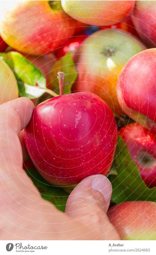 Apfelernte Mensch Pflanze grün rot Hand Gesundheit Herbst gelb Garten Frucht frisch genießen Finger berühren lecker wählen