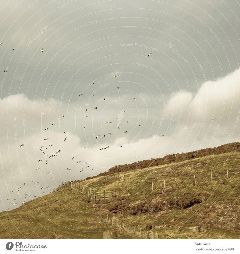 Möwenrudel Umwelt Natur Landschaft Urelemente Erde Himmel Wolken Gras Sträucher Aberdeen Schottland Vogel Möwenvögel Schwarm fliegen gelb grün Zaun Zaunpfahl