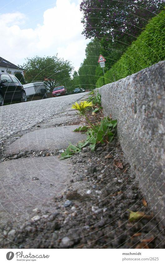 mauerBLÜMCHEN Blume Asphalt Wasserrinne Mensch Straße Wege & Pfade
