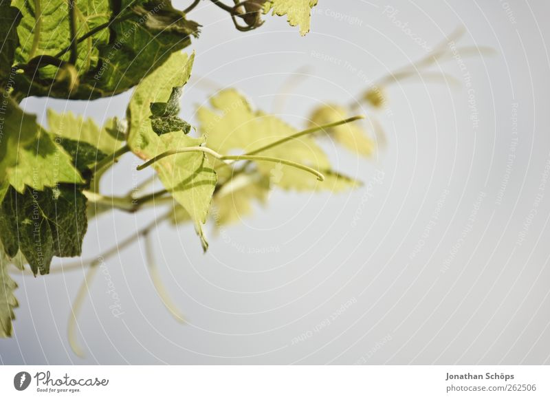 Der Weinberg IX Sommer Umwelt Natur Klima Klimawandel Schönes Wetter Pflanze Blatt Grünpflanze Nutzpflanze grün Wachstum gedeihen Weinlese Stengel aufwärts