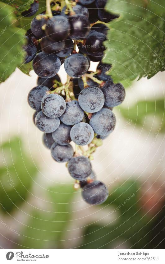 Weintraube Nahaufnahme Sommer Sonne Umwelt Natur Pflanze Schönes Wetter grün violett Weintrauben Weinberg Frucht Weinlese Weinbau Beeren Fruchtstand genießen