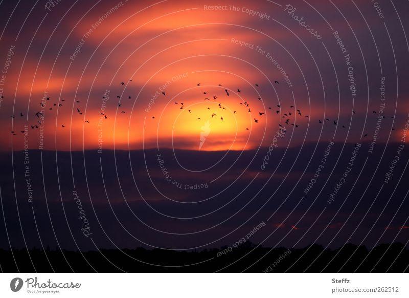 Abendvorstellung Natur Landschaft Himmel Wolken Horizont Sonne Sonnenaufgang Sonnenuntergang Vogel Vogelschwarm Wildvogel Schwarm fliegen schön Romantik ruhig