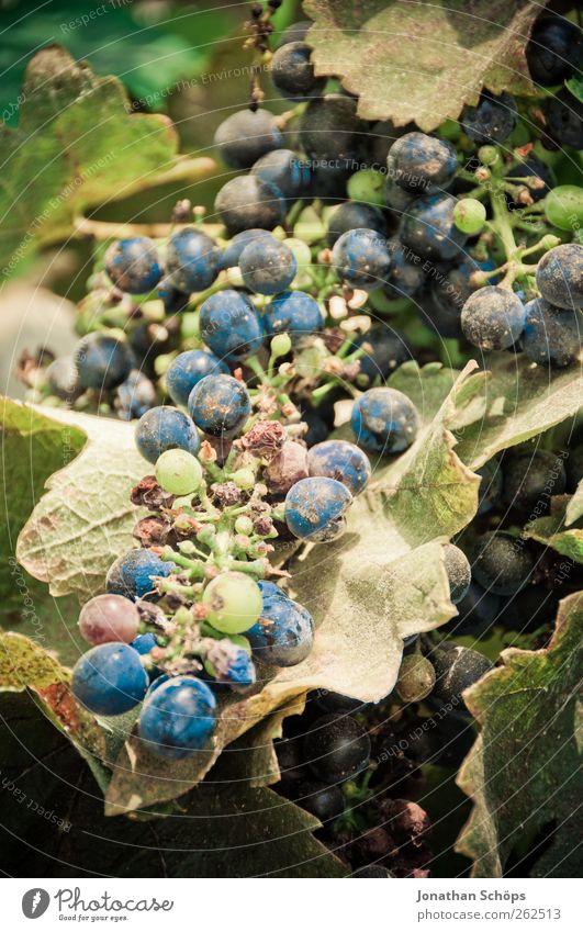 Der Weinberg XI Natur blau grün Pflanze Sonne Sommer Blatt Umwelt Lebensmittel Wärme Frucht Wachstum süß rund Schönes Wetter