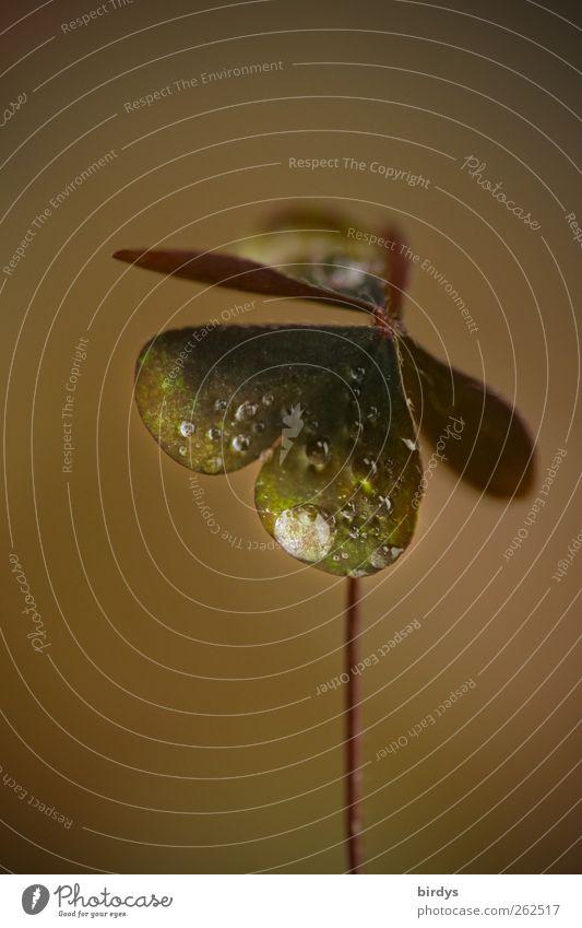Herztropfen Pflanze ästhetisch positiv braun grün Natur herzförmig Blatt Kleeblatt Tau Wassertropfen Stengel 1 Glücksbringer Farbfoto Gedeckte Farben