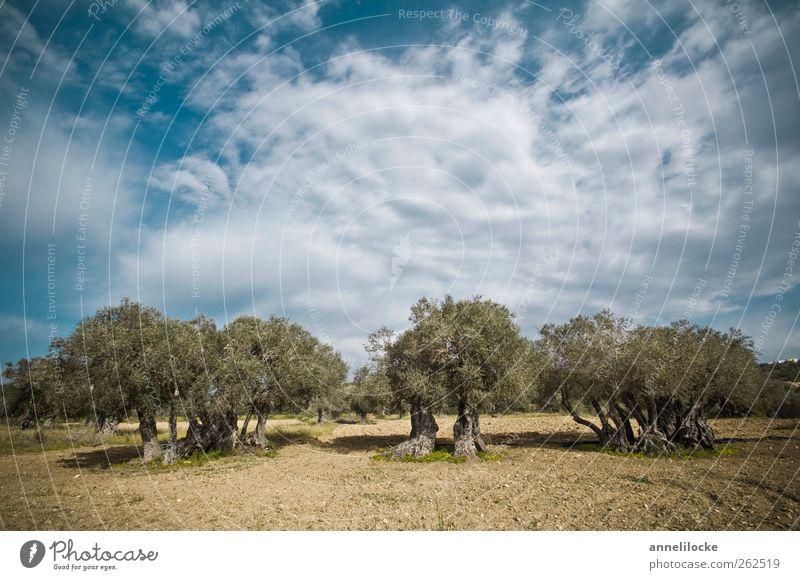 Steinalt Ferien & Urlaub & Reisen Tourismus Ausflug Sommerurlaub Umwelt Natur Landschaft Himmel Wolken Klima Schönes Wetter Baum Nutzpflanze Olivenbaum Feld