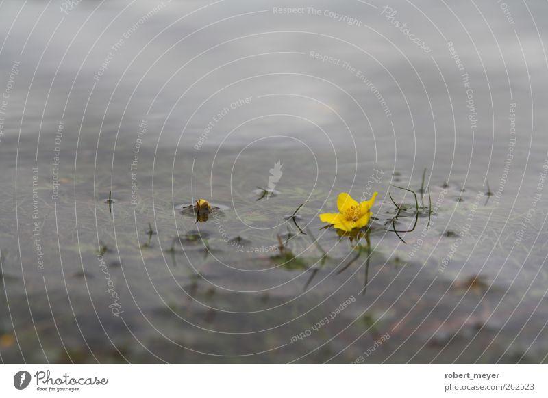versunken Wasser Pflanze ruhig gelb Wiese Herbst kalt Blüte Traurigkeit See träumen Kraft liegen Idylle Seeufer Gelassenheit