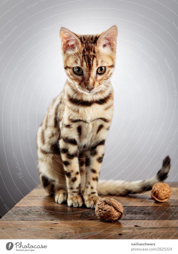 Bengalische Katze Lebensmittel Nuss Walnuss Tisch Tier Haustier bengal 1 Tierjunges Holz beobachten Blick sitzen frech Fröhlichkeit schön listig Neugier