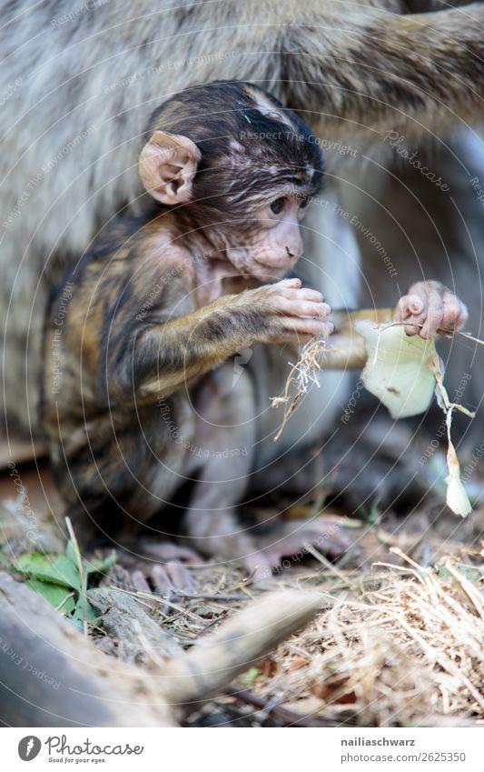 Berberäffchen Tier Wildtier Affen Berberaffen 1 Tierjunges beobachten entdecken Erholung Fressen hocken Kommunizieren sitzen Fröhlichkeit Zusammensein lustig