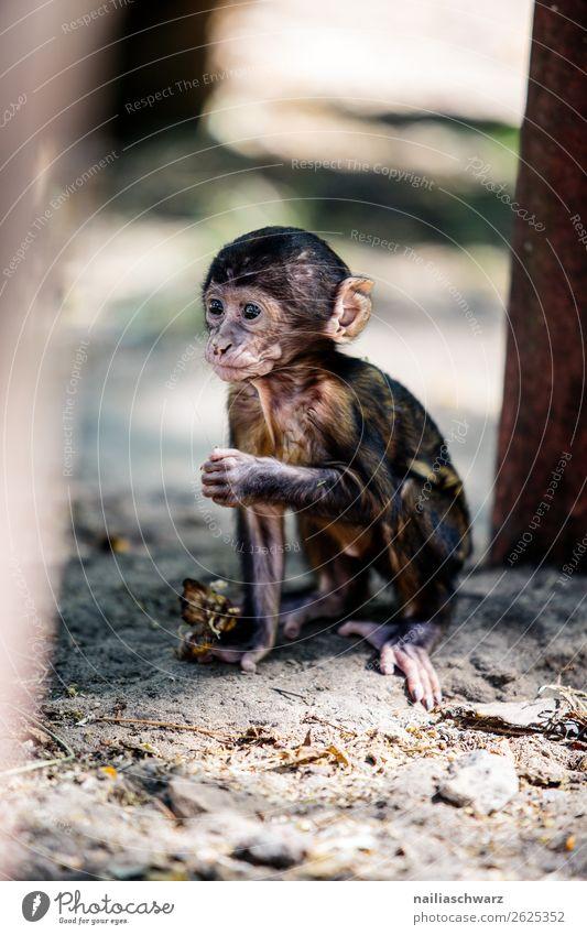 Affenbaby Tier Sommer Garten Park Wildtier Zoo Rhesusaffe Makake 1 Tierjunges beobachten Blick Spielen Fröhlichkeit natürlich Neugier niedlich wild Freude
