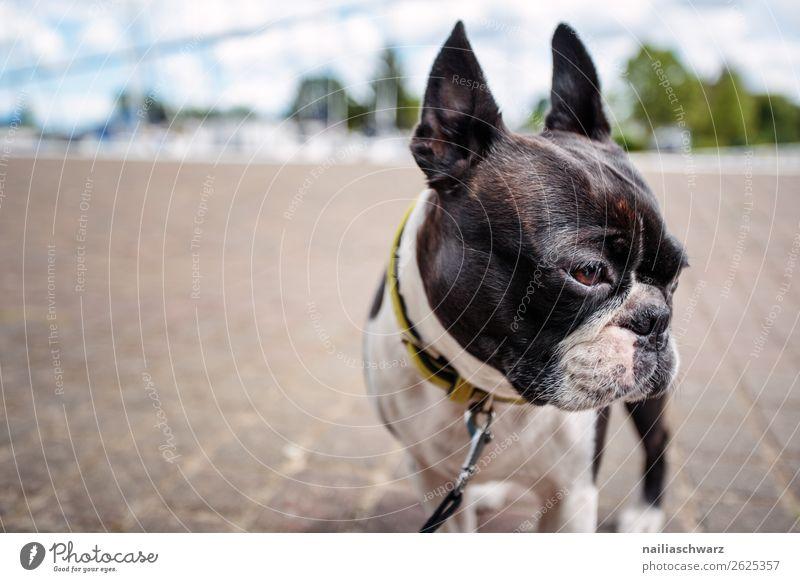 Ausflug Ferien & Urlaub & Reisen Tourismus Dorf Kleinstadt Hafenstadt Straße Tier Haustier Hund Tiergesicht Boston terrier französische Bulldogge 1 Stein