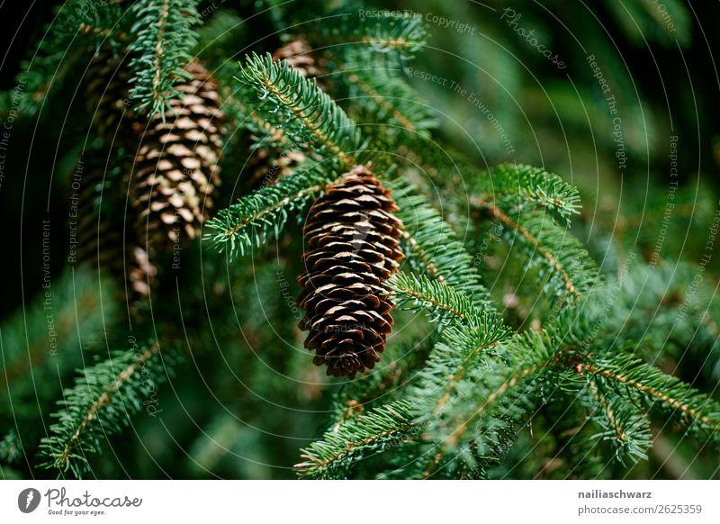 Tannenzapfen Weihnachten & Advent Umwelt Natur Pflanze Baum Grünpflanze Nadelbaum Zapfen Garten Park Wald Duft Wachstum natürlich braun grün friedlich Farbe