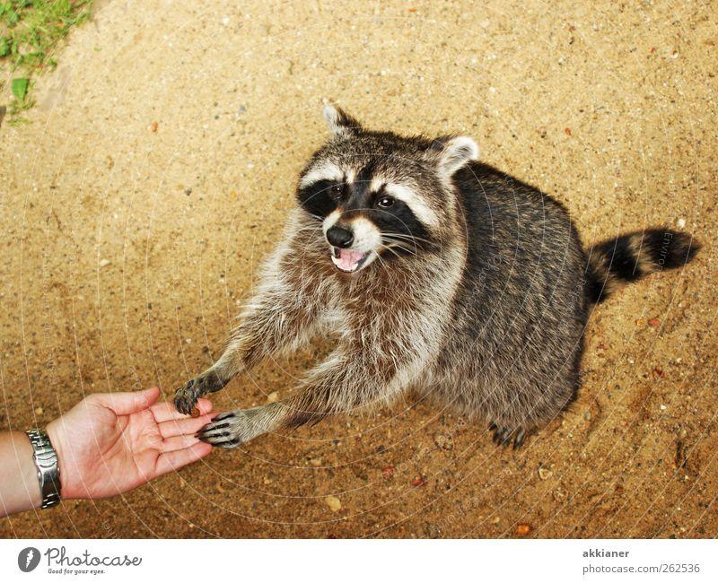 Tachchen!!! Umwelt Natur Pflanze Tier Urelemente Erde Sand Wildtier Tiergesicht Fell 1 hell Waschbär Farbfoto mehrfarbig Außenaufnahme Tag Licht